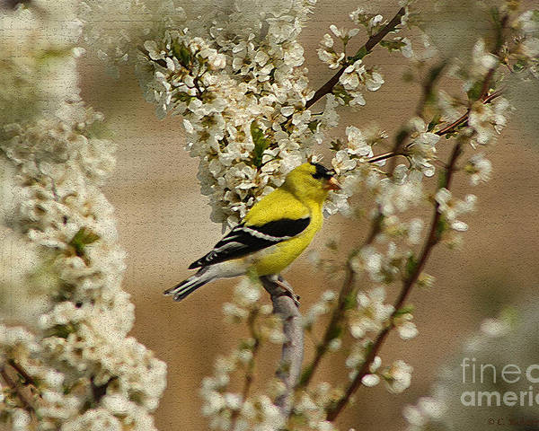 Finch Poster featuring the photograph Male Finch In Blossoms by Cathy Beharriell