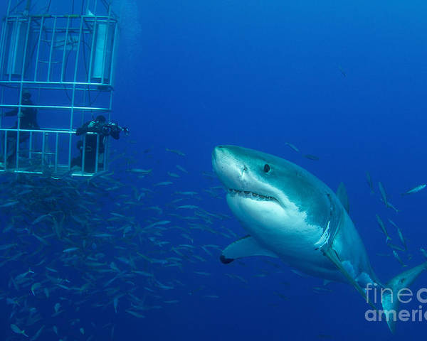 Carcharodon Carcharias Poster featuring the photograph Male Great White Shark And Divers by Todd Winner