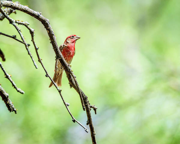 House Finch Poster featuring the photograph Male House Finch Out On A Limb by Debra Martz
