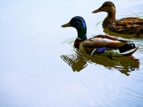 Duck Poster featuring the photograph Mallard Couple by Jim DeLillo
