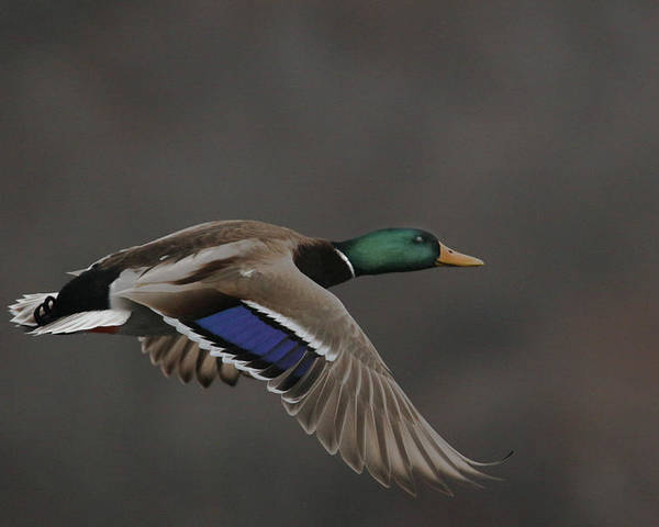 Mallard Poster featuring the photograph Mallard Duck in Flight Artsy2 by Nikki Vig