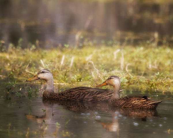 Duck Poster featuring the photograph Mallards by J Darrell Hutto