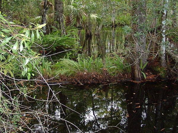 Nature Poster featuring the photograph Mangrove   Wild by Florene Welebny