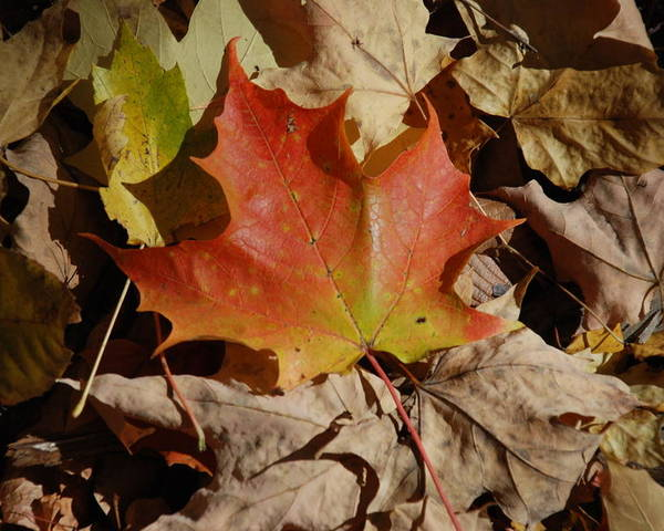 Nature Poster featuring the photograph Maple Leaf by William Thomas