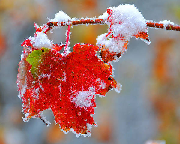 Maple Leaf Poster featuring the photograph Maple Leaf With Snow by Alan Lenk
