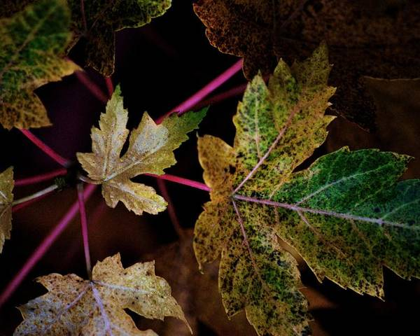 Maple Leaves. Nature Poster featuring the photograph Maple Spatter by Trudi Southerland