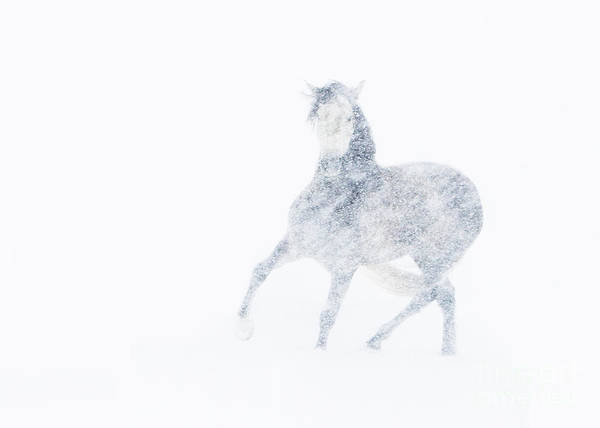 Mare Poster featuring the photograph Mare In A Blizzard I by Carol Walker