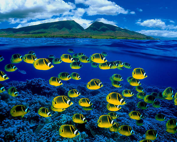 B1929 Poster featuring the photograph Maui Butterflyfish by Dave Fleetham - Printscapes