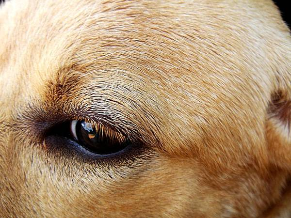 Labrador Retriever Poster featuring the photograph Max by Paulo Zerbato