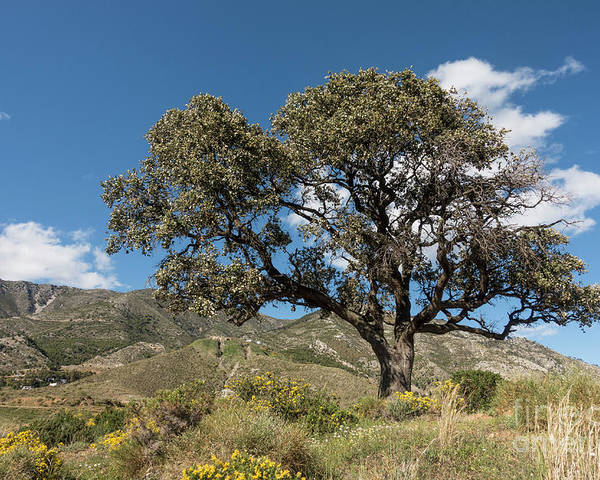 Mediterranean Landscape With Holly Oak Or Holm Oak Quercus Ilex