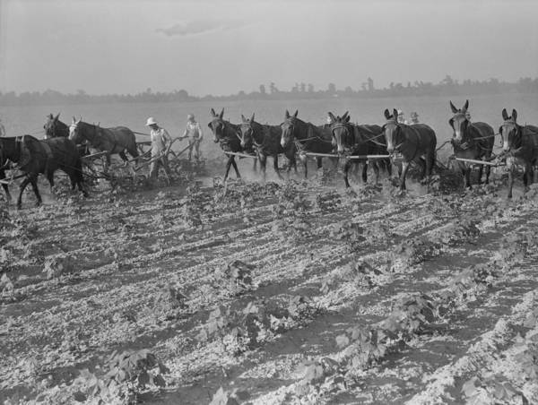 History Poster featuring the photograph Men And Mules Cultivating Cotton by Everett