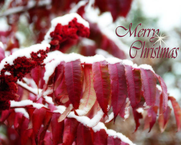 Christmas Card Poster featuring the photograph Merry Christmas Red Leaves by Cathy Beharriell