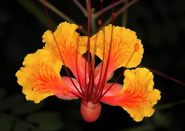 Macro Poster featuring the photograph Mexican Bird of Paradise by Jim Painter