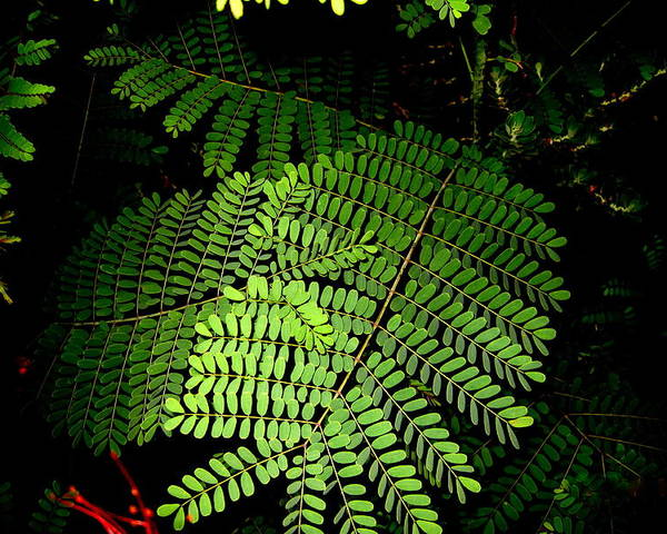 Fern Poster featuring the photograph Mexican Bird Of Paradise by Lessandra Grimley