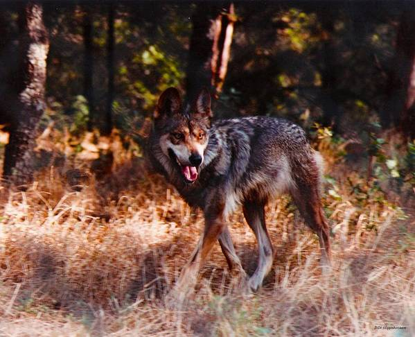 mexican Red Wolf Poster featuring the photograph Mexican Red Wolf by DiDi Higginbotham