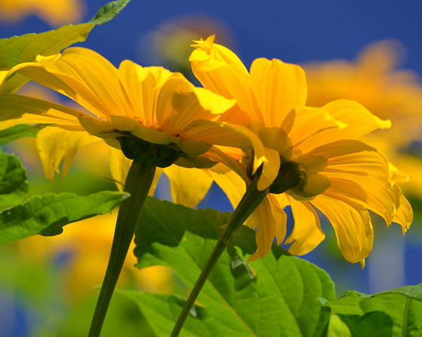 Sunflower Poster featuring the photograph Mexican Sunflower Tree by Melanie Moraga