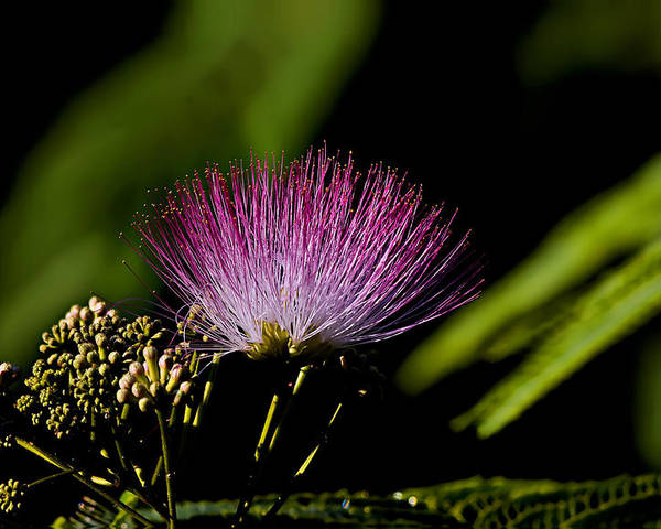 Landscape Poster featuring the photograph Mimosa Tree Bloom by Michael Whitaker