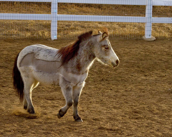 Agriculture Poster featuring the photograph Miniature Horse by Crystal Garner