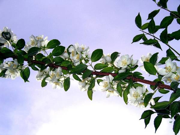 Mock Orange Poster featuring the photograph Mock Orange by Will Borden