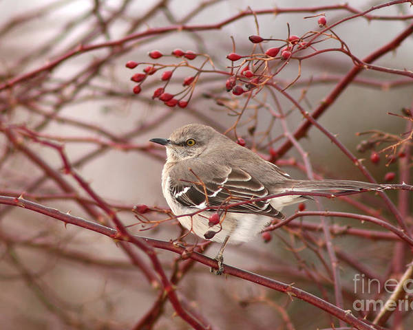 Mockingbird Poster featuring the photograph Mockingbird In Winter Rose Bush by Max Allen