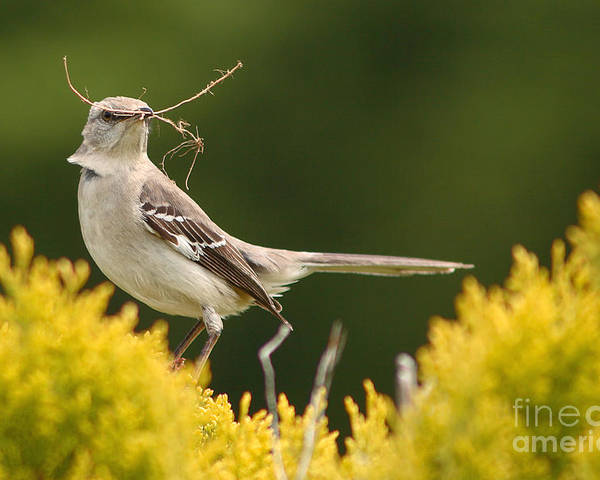Mockingbird Poster featuring the photograph Mockingbird Perched With Nesting Material by Max Allen