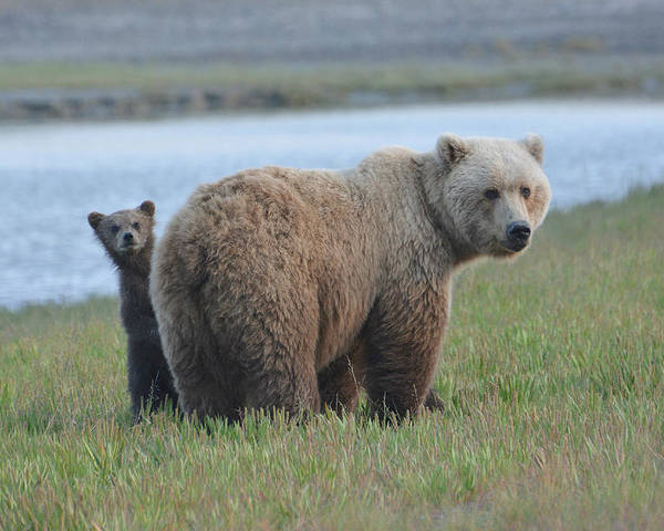 Grizzly Bears Poster featuring the photograph Mommy Day Care by Fraida Gutovich