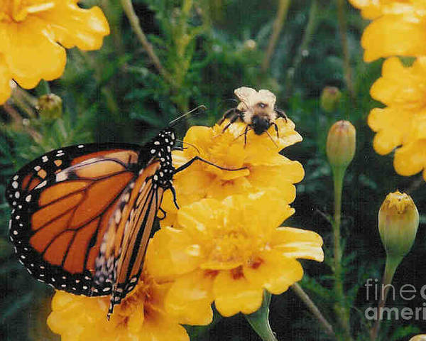 Robin Lee Mccarthy Photography Poster featuring the photograph #002 Monarch Bumble Bee Sharing by Robin Lee Mccarthy Photography