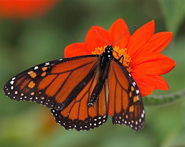 Butterfly Poster featuring the photograph Monarch Butterfly by Peter Gray