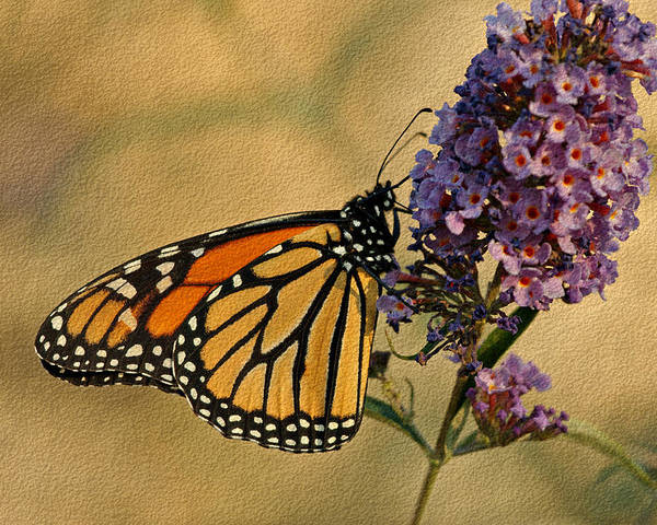 Butterfly Poster featuring the photograph Monarch Butterfly by Sandy Keeton