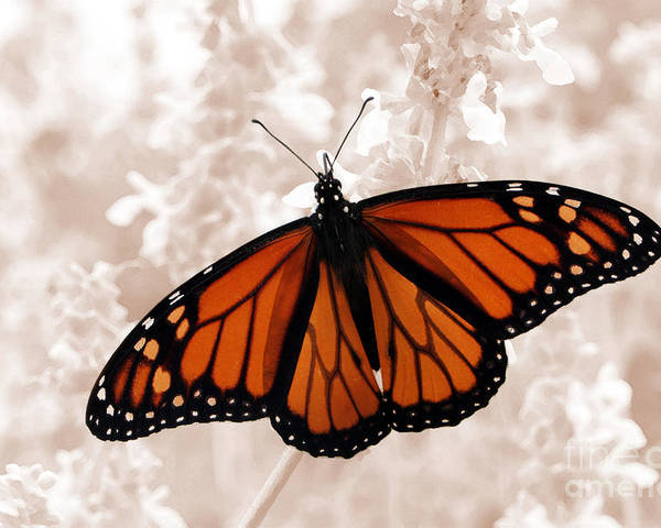 Monarch Poster featuring the photograph Monarch by Jeannie Burleson