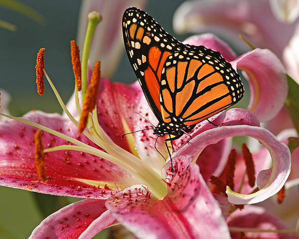 Cindi Ressler Poster featuring the photograph Monarch On A Stargazer Lily by Cindi Ressler