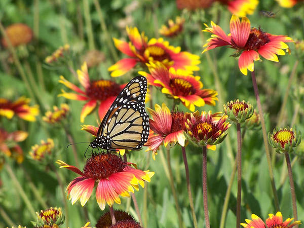 Nature Poster featuring the photograph Monarch On Blanketflower by Peg Urban