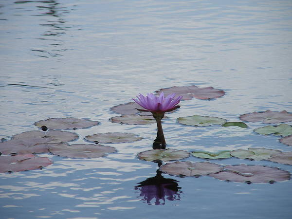 Lily Pads Poster featuring the photograph Monet Memory by Mary Hurst