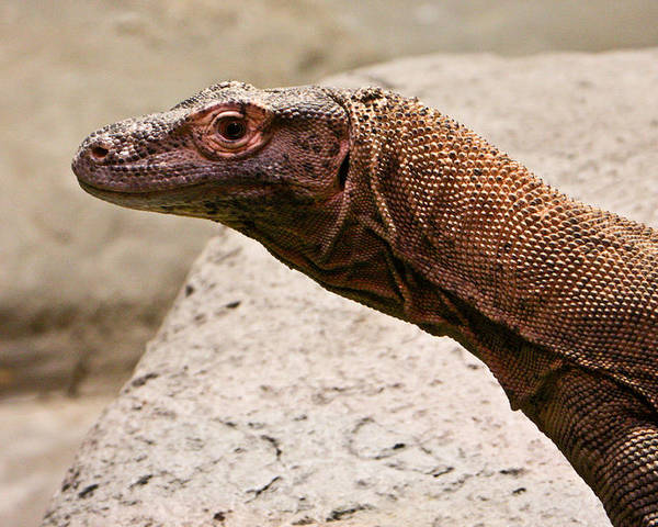 Monitor Poster featuring the photograph Monitor Lizard by Douglas Barnett