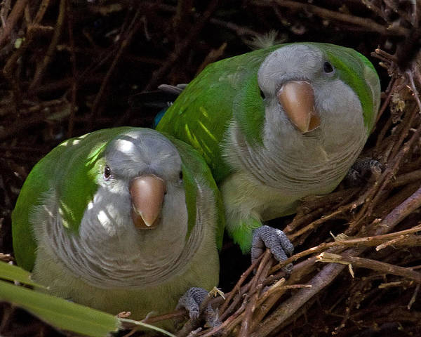 Monk Parakeet Poster featuring the photograph Monk Parakeet Pair by Larry Linton
