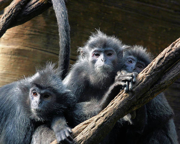 Monkey Poster featuring the photograph Monkey Trio by Karol Livote