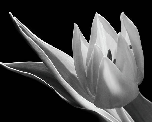 Monochrome Flower Poster featuring the photograph Monochrome Tulip by Terence Davis