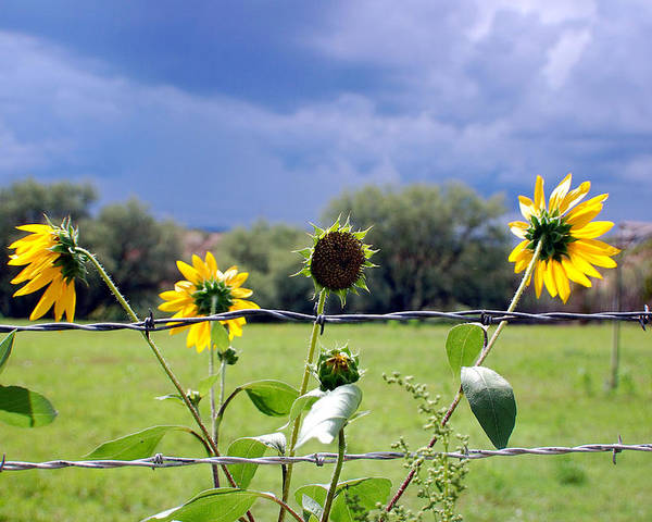 Photography Poster featuring the photograph Monsoon Sunflowers by Heather S Huston