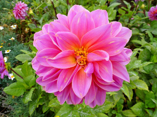 Dahlia Poster featuring the photograph Monterey Pink by Robert Meyers-Lussier