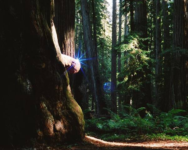 Montgomery Woods Poster featuring the photograph Montgomery Woods Burl by Steven Wirth