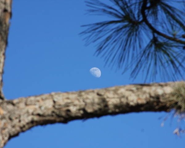 Moon Poster featuring the photograph Moon On A Pine Bough by Jonathan Kotinek