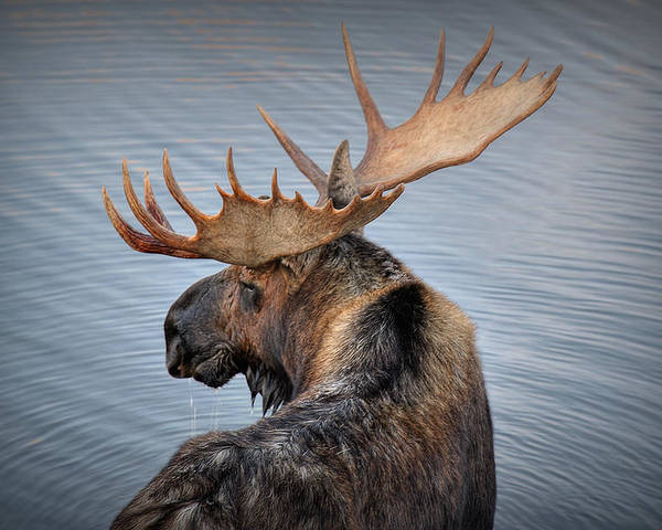 Moose Poster featuring the photograph Moose Drool by Ryan Smith