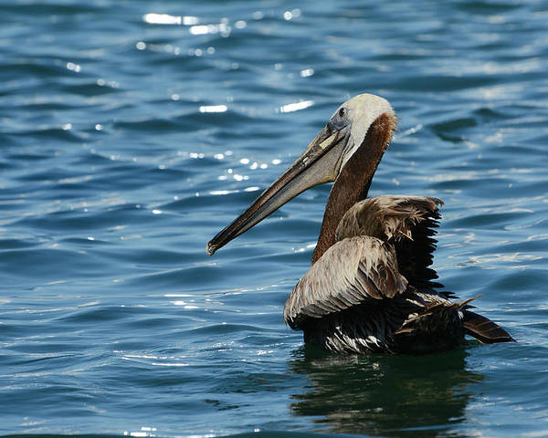 Brown Pelican Poster featuring the photograph Morning Glow by Fraida Gutovich