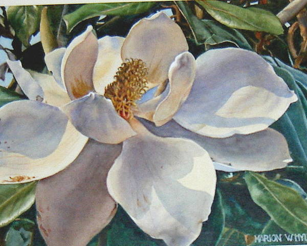 Flower Poster featuring the painting Morning Magnolia by Marion Hylton