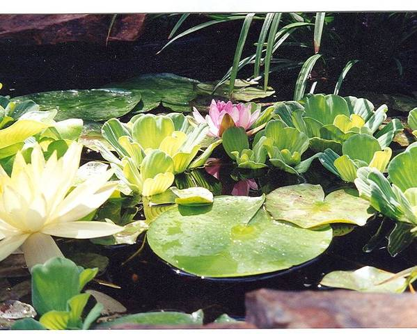Waterlillies Poster featuring the photograph Morning Pond by Laura Johnson