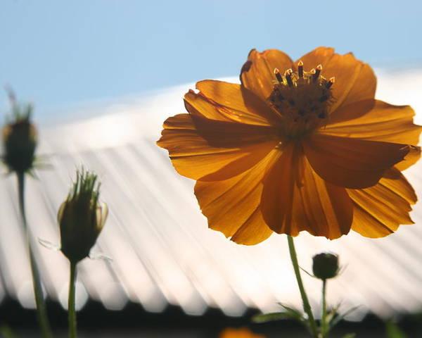 Orange Flower Sunlight Morning Bhutan Poster featuring the photograph Morning Sunlight by Linda Russell