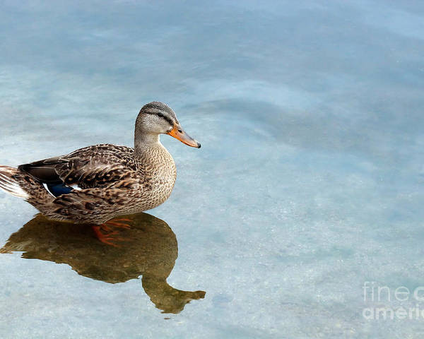 Duck Poster featuring the photograph Morning Swim by Jeannie Burleson