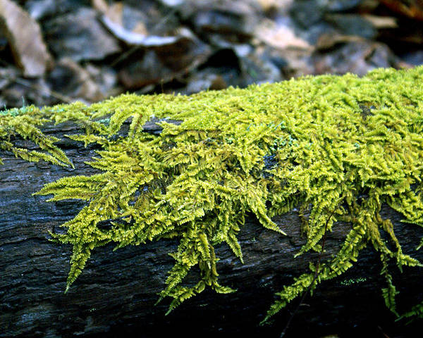 Moss Poster featuring the photograph Mosss On Blackened Log by Douglas Barnett