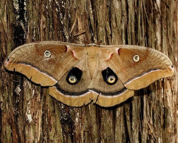 Moth Poster featuring the photograph Moth On Cedar Tree by Bob Guthridge
