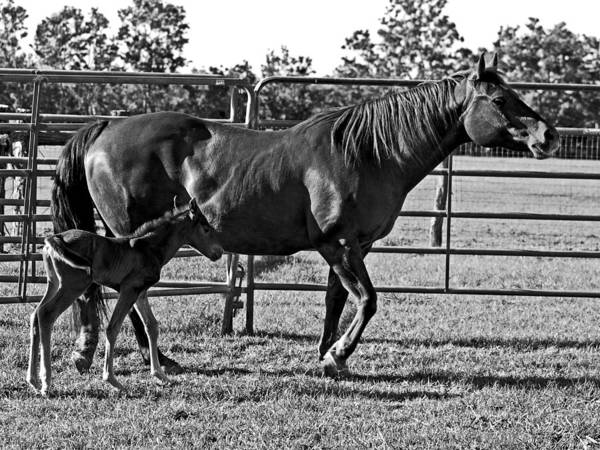Horses Poster featuring the photograph Mother And Child. by Jorge Gaete